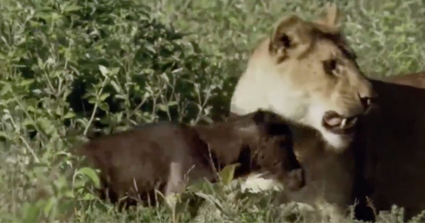 Things Take An Unexpected Turn After This Lioness Corners A Brand New Baby Wildebeest